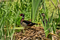 ~ Wood Ducks ~